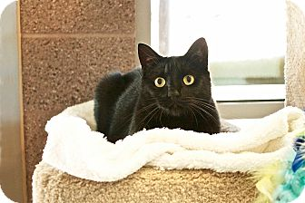 Domestic Shorthair Cat for adoption in Coronado, California - Miney