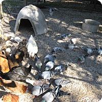 Adopt A Pet :: pigeons (21) - Christmas, FL