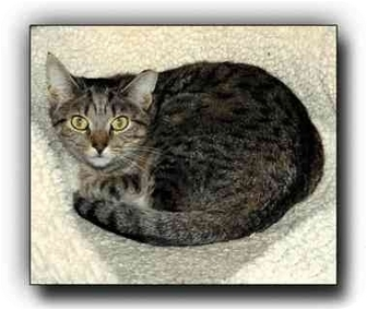 Domestic Shorthair Cat for adoption in Howell, Michigan - Ryan