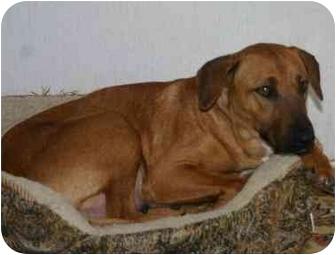 Vizsla/Rhodesian Ridgeback Mix Dog for adoption in Gilbert, Arizona ...