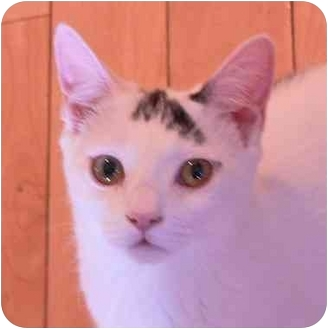 Domestic Shorthair Kitten for adoption in Putnam Valley, New York - Milo