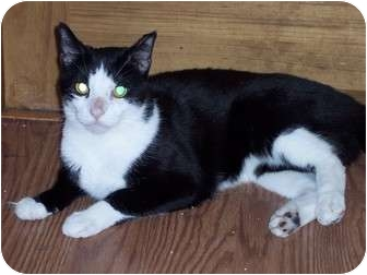 Domestic Shorthair Cat for adoption in Delmont, Pennsylvania - David