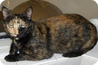 Domestic Shorthair Cat for adoption in Richmond, Virginia - Harley