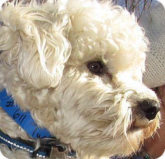 ... | Adopted Dog | Trinidad, CO | Maltese/Schnauzer (Miniature) Mix