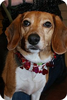 Beagle Mix Dog for adoption in Rockaway, New Jersey - Suzie