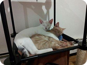 Domestic Shorthair Kitten for adoption in Brooklyn, New York - Jinx