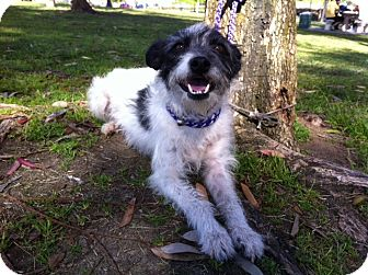 Terrier (Unknown Type, Small) Mix Dog for adoption in El Cajon, California - TESSA