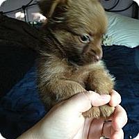 Adopt A Pet :: PomPom - batlett, IL