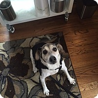 Beagle/Jack Russell Terrier Mix Dog for adoption in Sheridan, Illinois - Max-$75(loves kids and cats!)