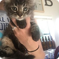 Adopt A Pet :: KITTIES IN DELAND - DeLand, FL