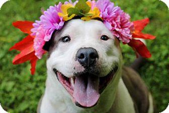 American Bulldog Mix Dog for adoption in Tyrone, Pennsylvania - Xena