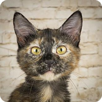 Domestic Shorthair Kitten for adoption in Columbia, Illinois - Libra
