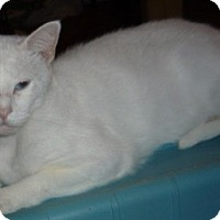 British Shorthair Cat for adoption in Dallas, Texas - Louis