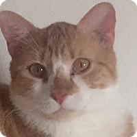 Adopt A Pet :: Buggles - McKinney, TX