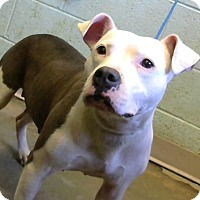 American Pit Bull Terrier Mix Dog for adoption in Decatur, Georgia - Fabia
