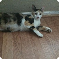 Adopt A Pet :: Tawnypelt Flametail - Palo Alto, CA