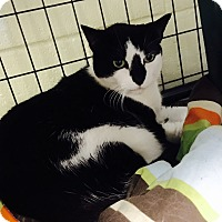 Domestic Shorthair Cat for adoption in Holland, Michigan - Linny