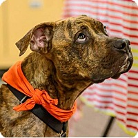 Pit Bull Terrier Dog for adoption in Lake Jackson, Texas - Willy
