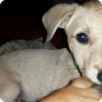 Labrador Retriever/Shepherd (Unknown Type) Mix Dog for adoption in Von Ormy, Texas - Sir Winston