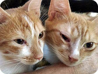 Domestic Shorthair Kitten for adoption in Brooklyn, New York - Simon and Rudy, Terrific Tabbies