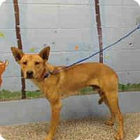 German Shepherd Dog/Shepherd (Unknown Type) Mix Dog for adoption in San Bernardino, California - URGENT ON 10/22 San Bernardino