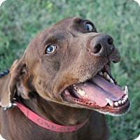 Labrador Retriever/Weimaraner Mix Dog for adoption in Owasso, Oklahoma - Big Boy