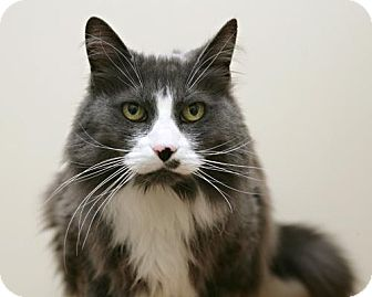 Domestic Mediumhair Cat for adoption in Bellingham, Washington - Sadie