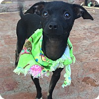 Italian Greyhound/Miniature Pinscher Mix Puppy for adoption in Santa Ana, California - Pandora (BH)