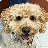 Adopt A Pet :: Scuba - Newington, VA