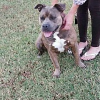 Pit Bull Terrier Mix Dog for adoption in Broken Arrow, Oklahoma - Little Man
