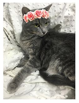 Domestic Shorthair Cat for adoption in Paducah, Kentucky - Daisy