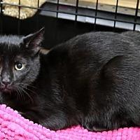 Adopt A Pet :: Itty Bitty Kitty - Nesbit, MS