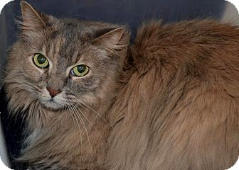 Domestic Longhair Cat for adoption in Frederick, Maryland - Peyton and Parker