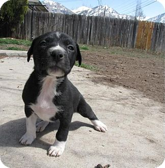 German Wirehaired Pointer/Boxer Mix Puppy for adoption in Roosevelt, Utah - Saturn