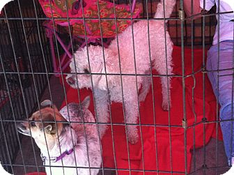 Poodle (Miniature) Mix Dog for adoption in North Hollywood, California - Francois