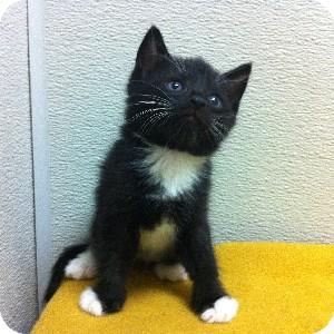 Domestic Shorthair Kitten for adoption in Gilbert, Arizona - Toze