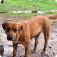 Rhodesian Ridgeback/Labrador Retriever Mix Dog for adoption in Baton Rouge, Louisiana - Brownie
