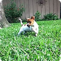 Adopt A Pet :: LITTLE LOUIE - TOMBALL, TX