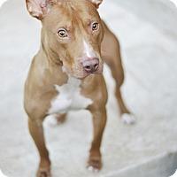 Adopt A Pet :: Thomas - Des Peres, MO