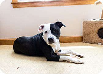 American Staffordshire Terrier/Labrador Retriever Mix Dog for adoption in Madison, Wisconsin - Buddy