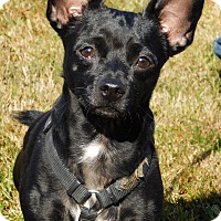Adopt A Pet :: Toots(9 lb) Great Family Pet! - Sussex, NJ