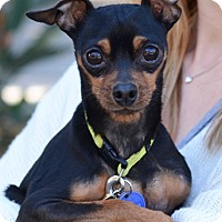 Adopt A Pet :: Killey - Santa Monica, CA
