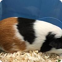 Adopt A Pet :: WENDY - Boston, MA