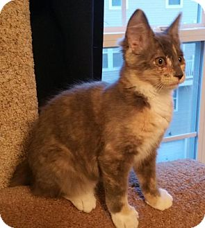 Domestic Shorthair Kitten for adoption in Herndon, Virginia - Maxie
