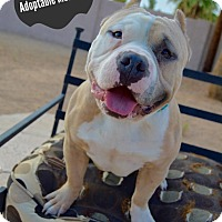 American Staffordshire Terrier/American Staffordshire Terrier Mix Dog for adoption in Phoenix, Arizona - Meatball