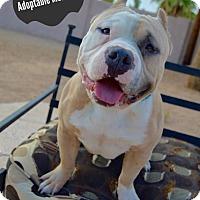 Adopt A Pet :: Meatball - Phoenix, AZ