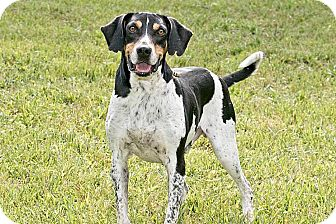 Treeing Walker Coonhound Mix Dog for adoption in Cashiers, North Carolina - Charlie