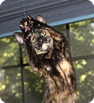 Domestic Shorthair Kitten for adoption in Flower Mound, Texas - Danica