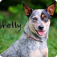 Adopt A Pet :: Shelly - Joliet, IL