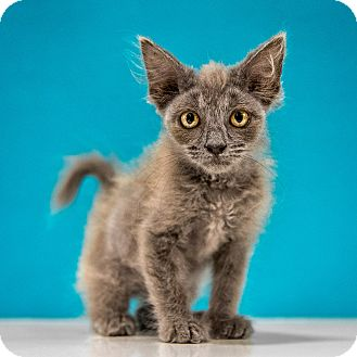 Domestic Shorthair Kitten for adoption in Chandler, Arizona - Wookie